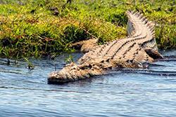 нильский крокодил фото