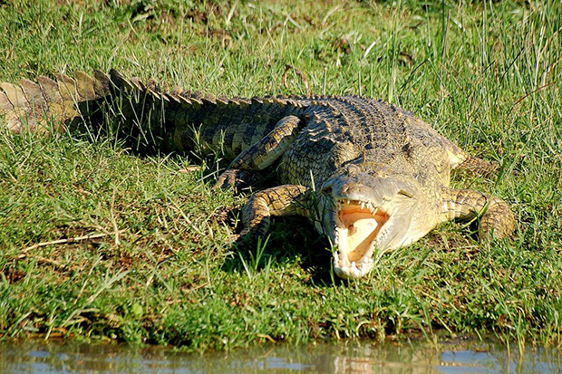 нильский крокодил на берегу