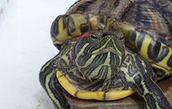 Лечение красноухих черепах
