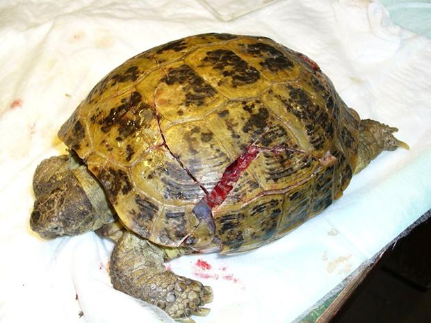 треснутый панцирь у черепахи