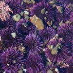 16 интересных фактов про морских ежей