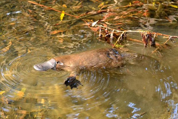 утконос в реке