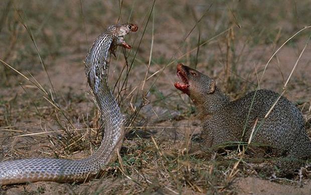 мангуст убивает змею
