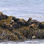 Морская выдра, или калан. Описание животного и его образ жизни