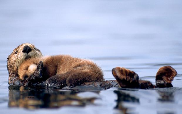 калан с детенышем плывут по морю