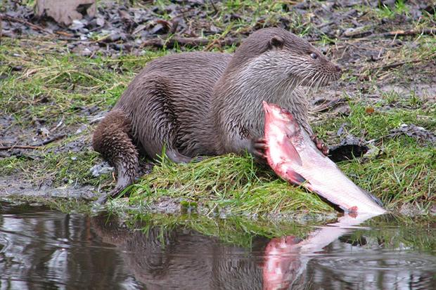 речная выдра ест рыбу