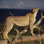 Жизнь гепарда в дикой природе и его описание