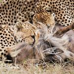 Что ест гепард и как охотится?