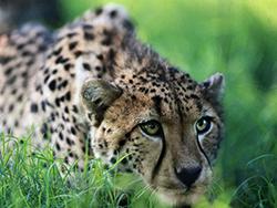 гепард на охоте фото