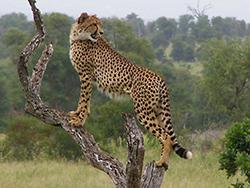 гепард присматривается фото