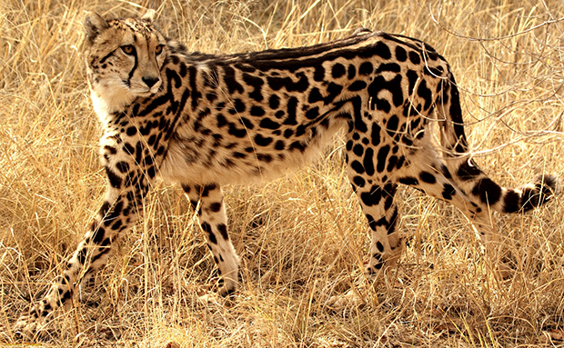 королевский гепард фото