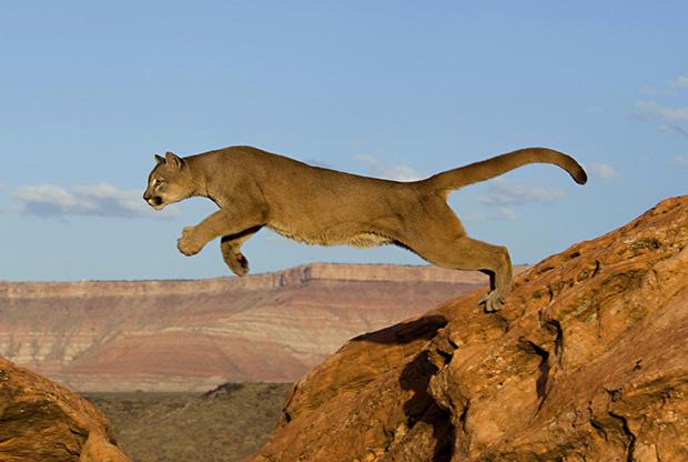 кагуар фото