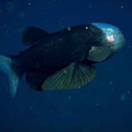 Малоротая макропинна, или рыба с прозрачной головой (бочкоглаз)