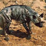 Полосатая гиена. Описание и жизнь в дикой природе