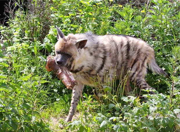 полосатая гиена ест