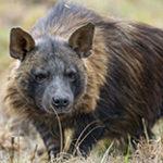 Бурая гиена. Краткое описание и ее жизнь в дикой природе