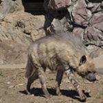 Виды гиен, которые известны в дикой природе из семейства гиеновых