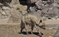 полосатая гиена возле норы