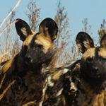 20 интересных фактов о гиеновых собаках