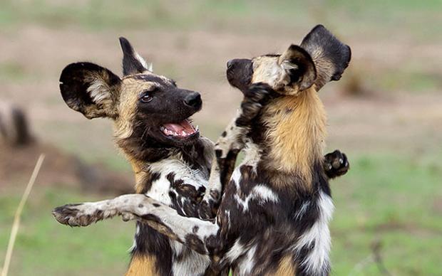 гиеновые собаки возле логова