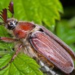 Чем питается майский жук?