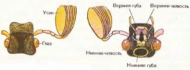 строение головы майского жука