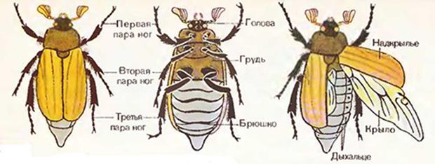 строение майского жука фото