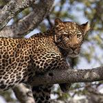 Где обитают леопарды?