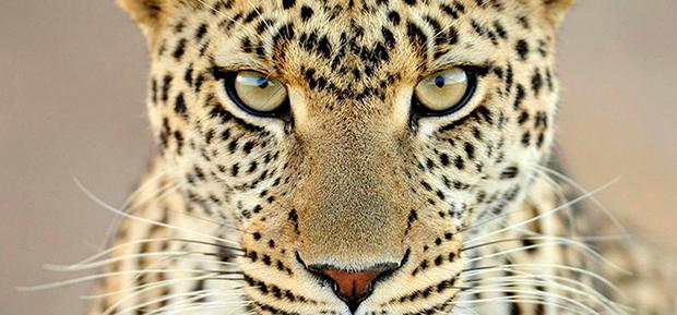 Южноаравийский леопард