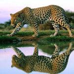 Как охотятся и чем питаются леопарды?
