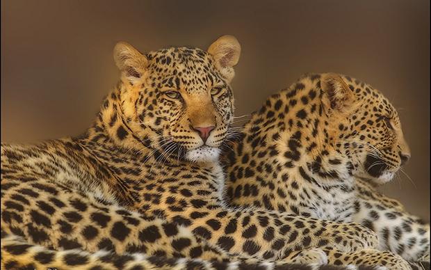 леопарды в сумраке