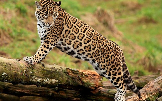 Ягуар на бревне