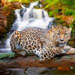 Чем питается и как охотится ягуар в дикой природе?