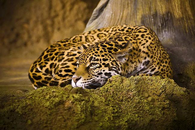 ягуар у скали