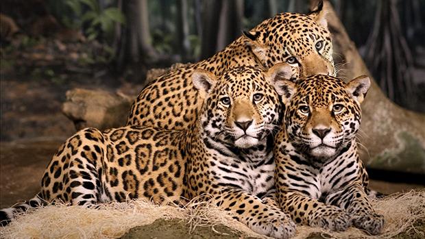 ягуар и его потомство