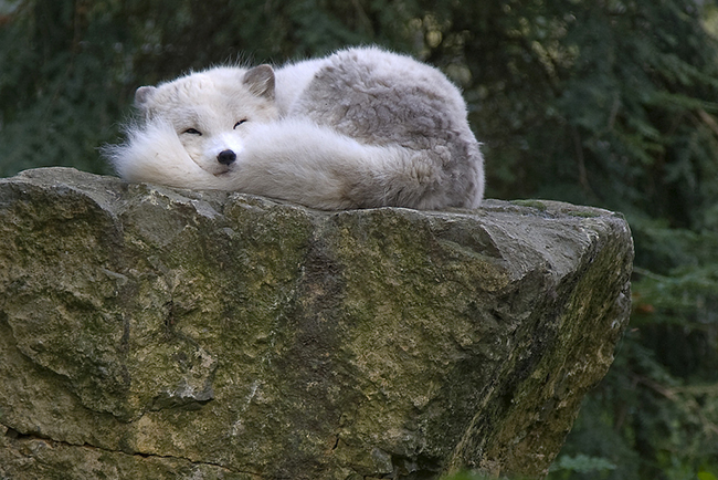уснувший песец