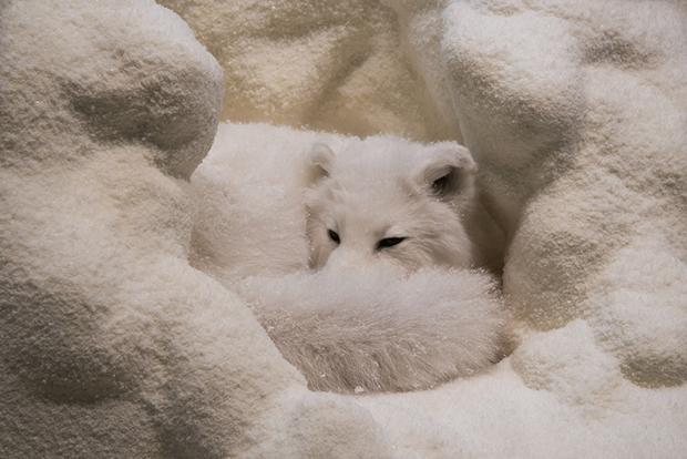 песец в зимнем убежище