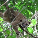 Кинкажу или медовый медведь. Полное описание и образ жизни животного в дикой природе