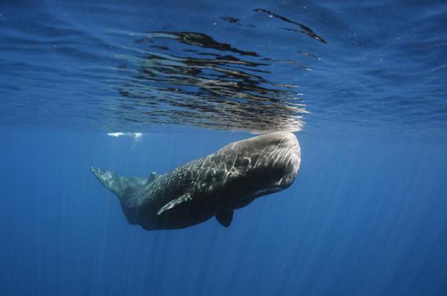 кашалот под водой