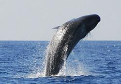 кит кашалот выпрыгивает из воды