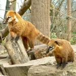 Носуха (коати). Полное описание животного и образ его жизни в дикой природе