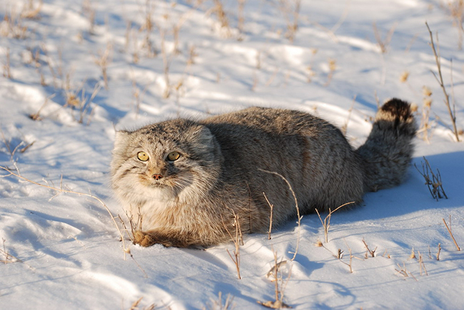 Манул пробирается по снегу
