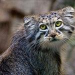 Места обитания манула в дикой природе
