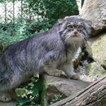Манул в домашних условиях. Стоит ли заводить дикую кошку в доме?