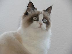 кот регдол
