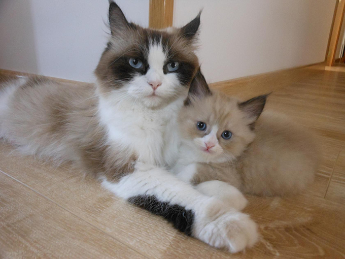 Кошка породы регодол