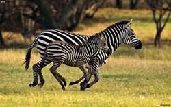 зебра и детеныш