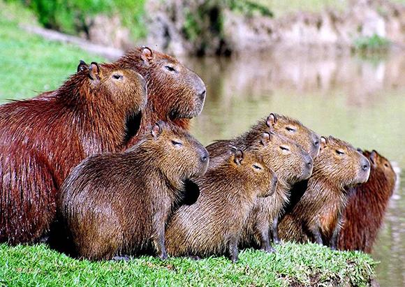 семья капибар