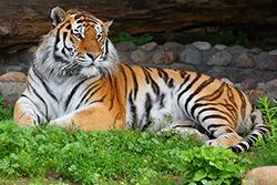 большой тигр