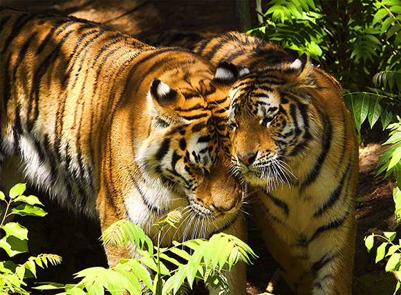 гуляющие тигры